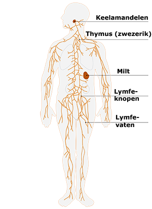 Lymfestelsel - Lymfedrainage